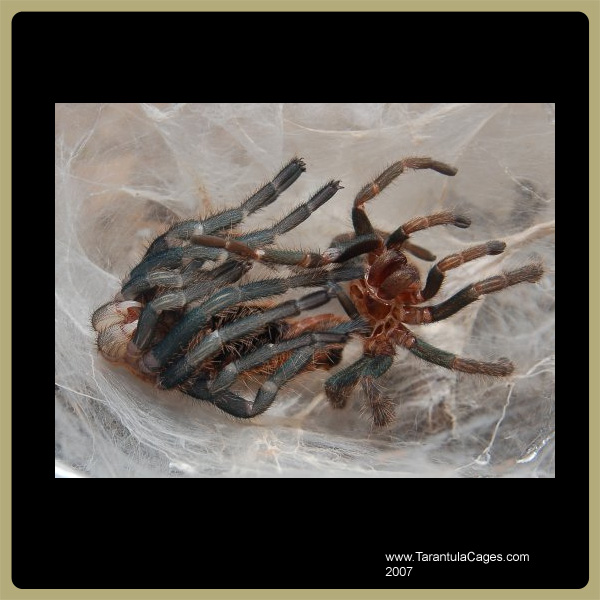 Tarantulacages Com Basic Tarantula Care Sheet